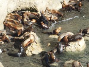La colonie d'otaries peut atteindre 3000 individus