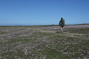 Fleurs sauvages à Belle-Île
