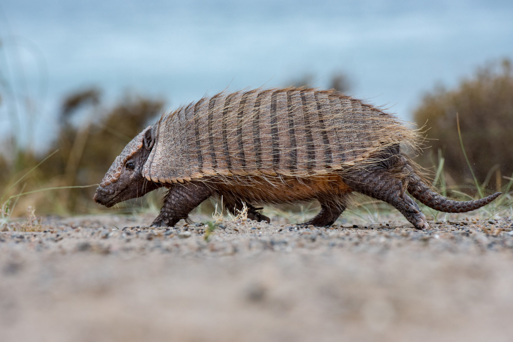 armadillo close up portrait in patagonia