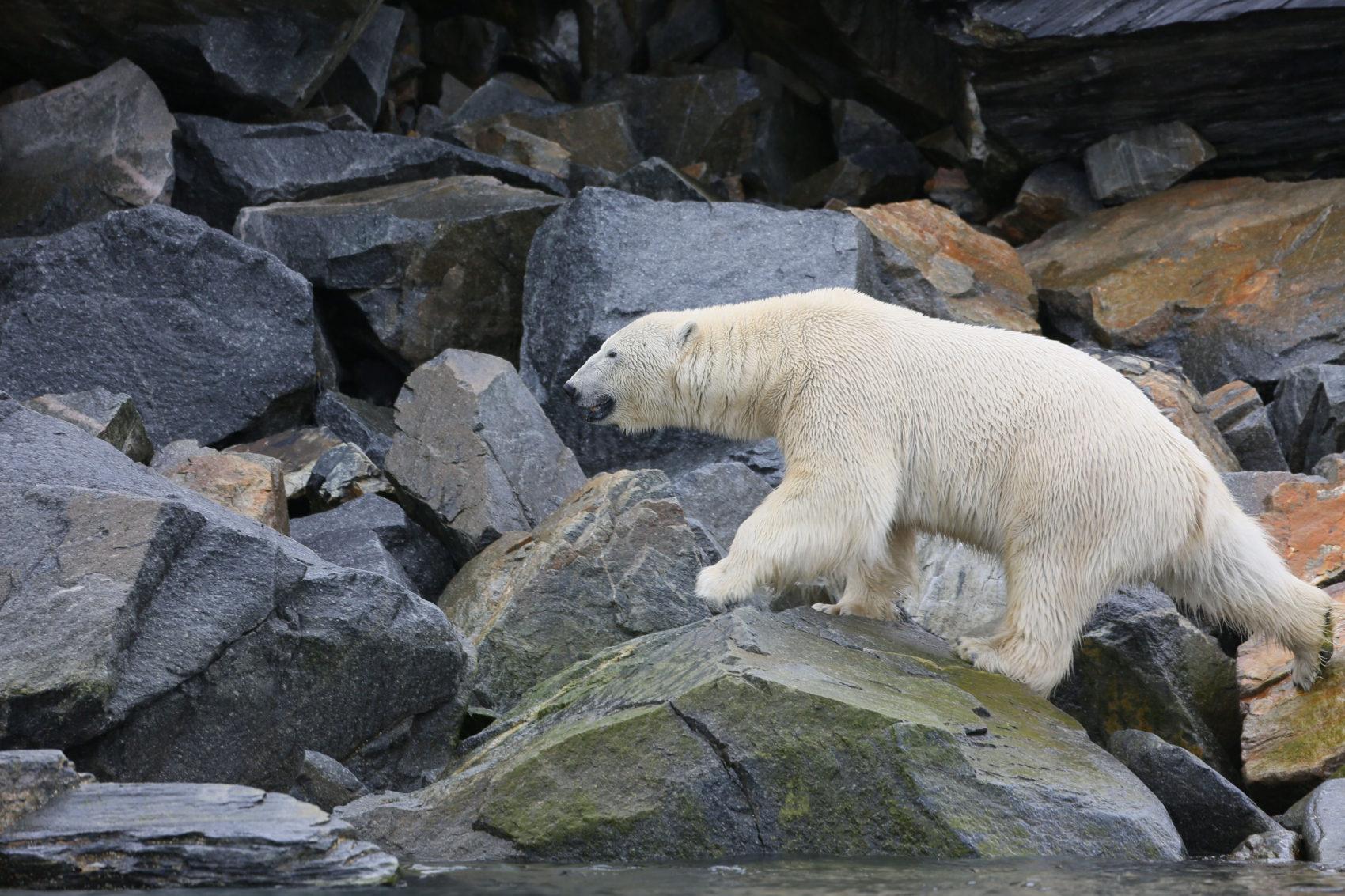 Longtemps, l'ours évolue sur les rochers près de l'eau