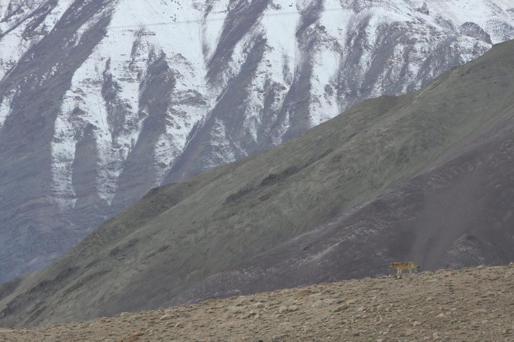 Loup mongol (Canis lupus chanco)